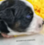 Black Tri with Double Blue Eyes Easy to Train and makes excellent therapy dog available in Tn from Reputabe Breeder