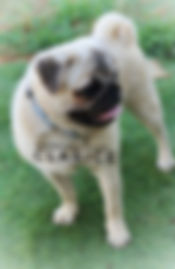 Double Curl Silver Fawn Bright Double Coat Pug.  Nice and Small compact and from Champion AKC lines