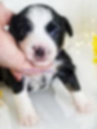 Well Bred Toy Aussie aka Miniature American Shepherd Black Tri Male for sale in TN from reputabe breeder