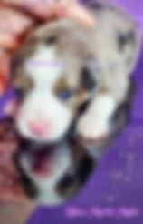 Blue Merle Male Mini Aussie with Blue Eyes in East TN