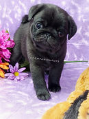 Show line AKC Quality Black Adorable Black Pug Puppy from Reputable Breeder Near Me in TN