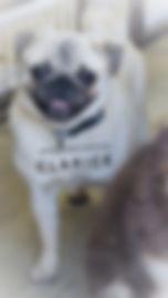 Champion Line Silver Fawn Female Pug