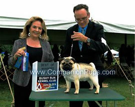 AKC King King at an AKC Show earning points.  Stud to Bright Pug Puppies fo sale in TN