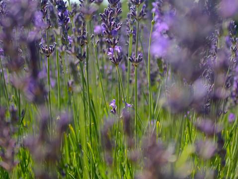 Mayfield, a lavender field near London
