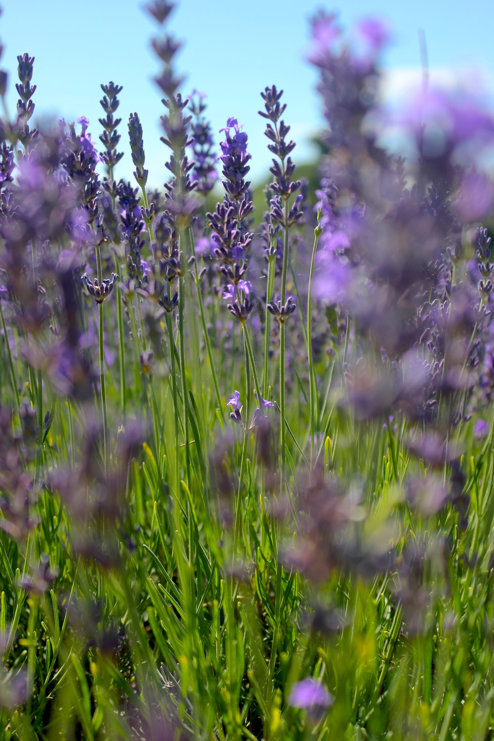 Mayfield, a lavender field near London