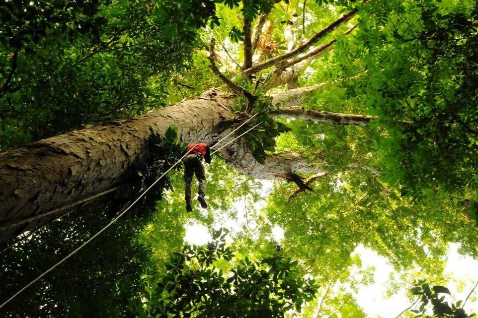 Angelim vermelho no Amapá