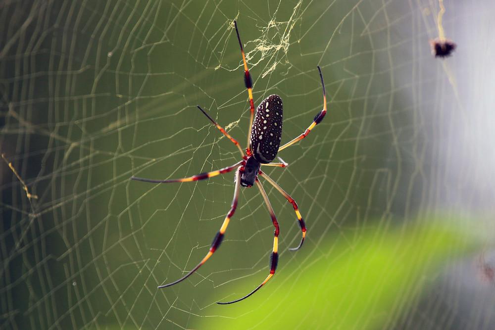 Aranha-do-fio-de-ouro