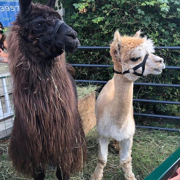 Llama Photo Booth and Petting Zoo