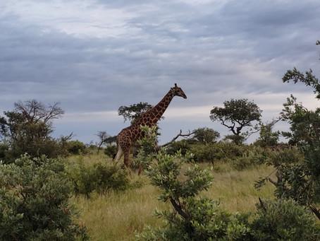 Um safári pelo Great Kruger