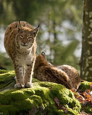 Lynx again in the nature of Czechia
