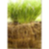 vetiver-grass-500x500.jpg