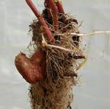 My potato heart is on the side of my hea