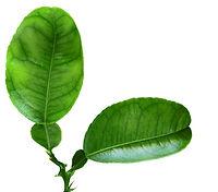 Lemon Leaf