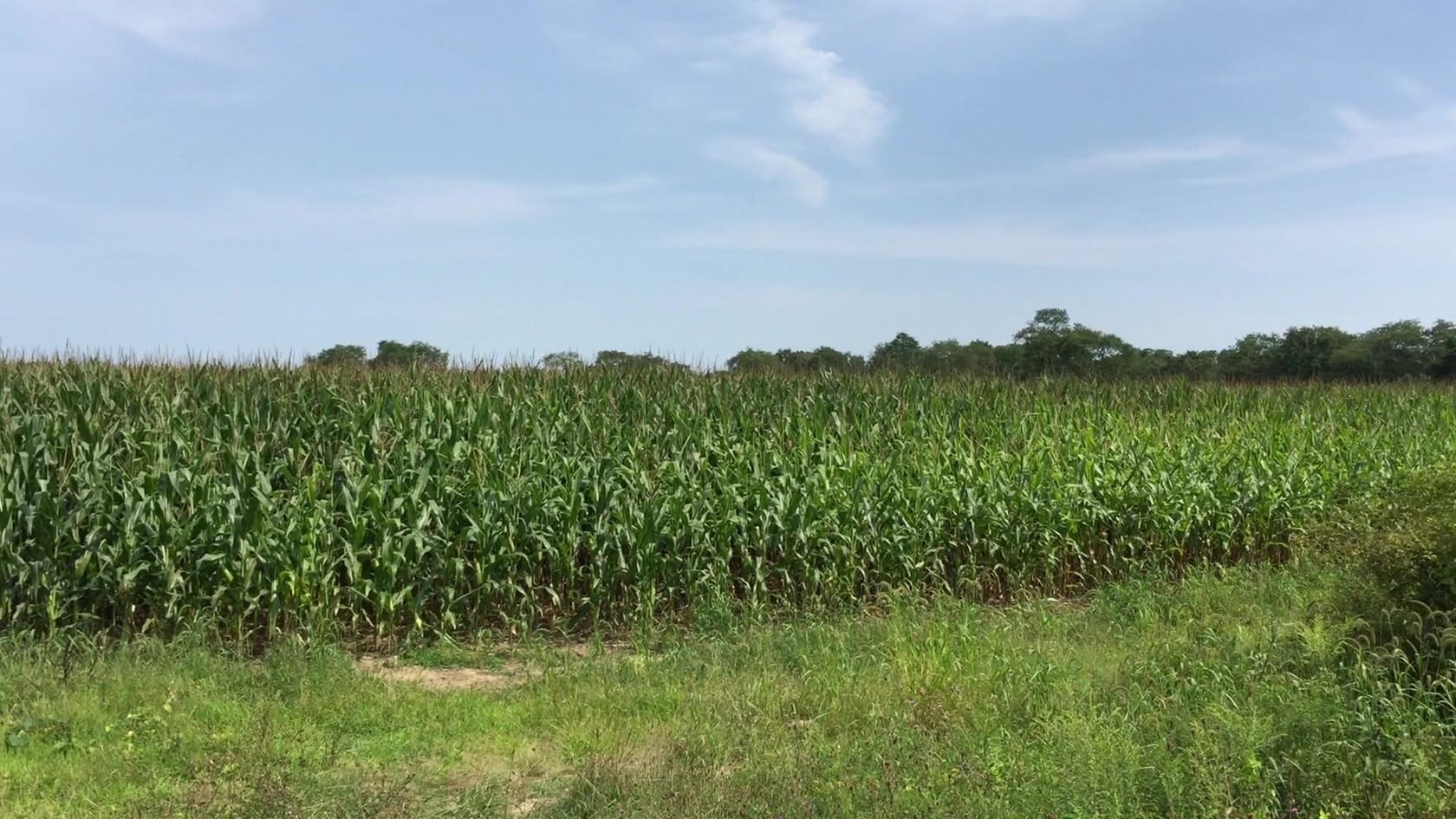 Looking Out Over the Cornfield