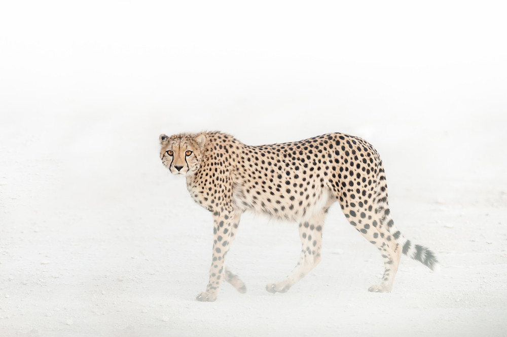 Cheetah in Etosha Pan