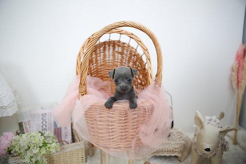 Italian Greyhound/Girl/Maris
