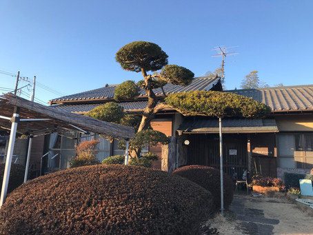 玄関前の槇の木が美しく整いました。ボランティアの加藤さんありがとう!