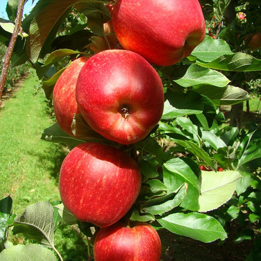 Apples Orchard 2011 051.jpg