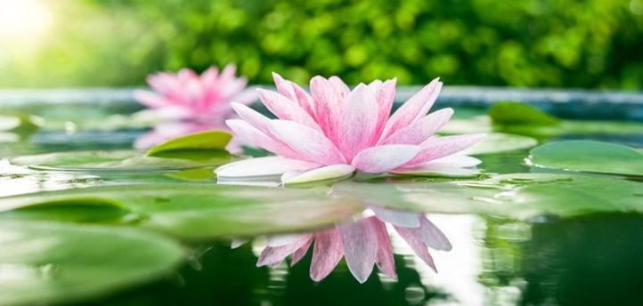 Lotus flower.jfif