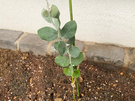 ミモザ植えました。