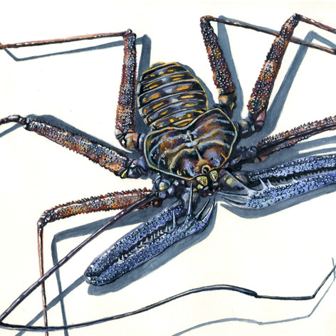 Tailless Whip Scorpion