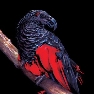 Dracula Parrot