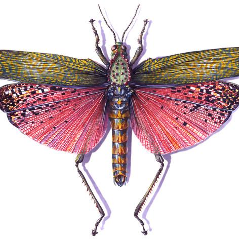 Red Locust