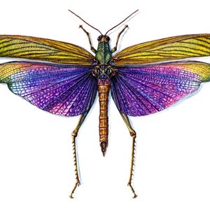 Purple Winged Grasshopper