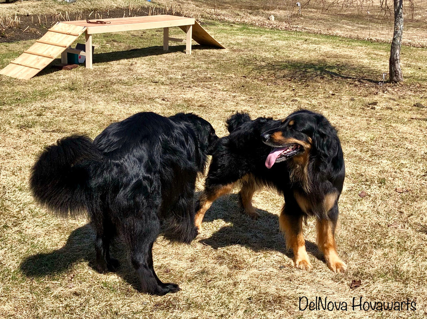DelNova Hovawarts: A picture of Priam and Zoe getting to know each other before the breeding