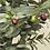 Thumbnail: OLIVE TREE 1.3m