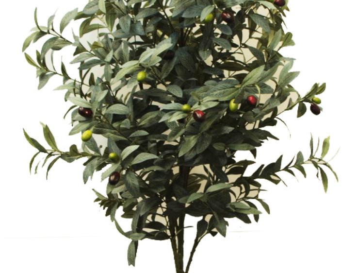 OLIVE TREE 1.3m