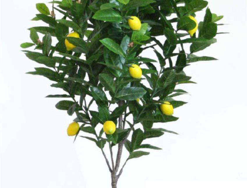 LEMON TREE 1.3m