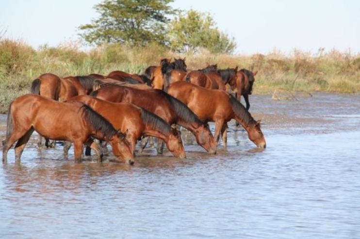 Cavalos no Tejo