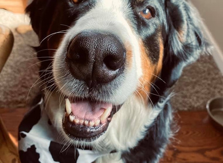 Sage, my Bernese Mountain Dog