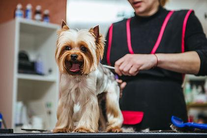 Grooming Yorkshire Terrier professional