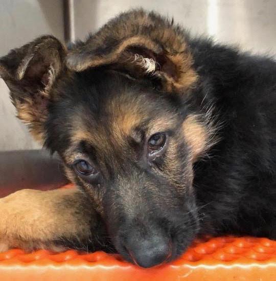 sad German Shepard puppy