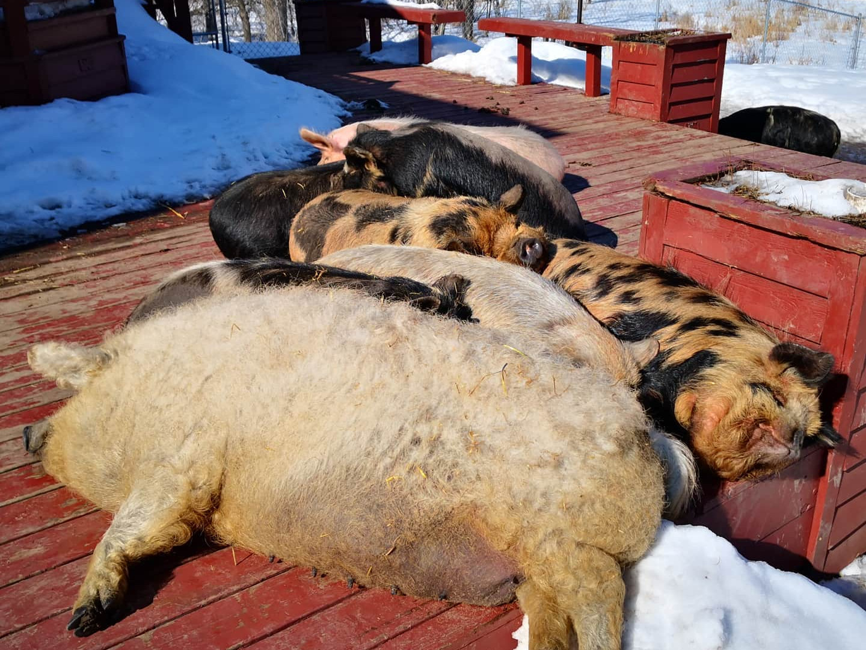 Happy, sleepy pigs