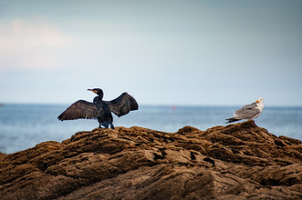 Cormorant and Gull Distancing