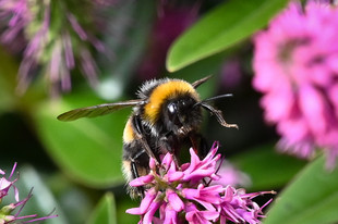 Bumble bee coming into land