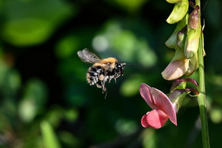Bee coming into land