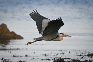 Heron on the coast