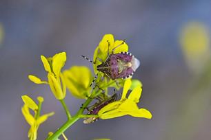 Purple Hairy Shieldbug