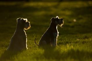 Schnauzer Sunset on the pasture