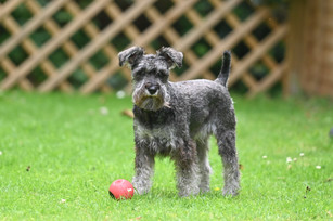 Scnauzer Pup