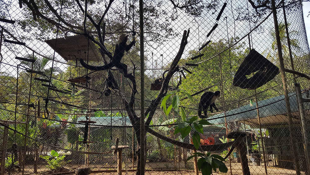 White-Faced Monkeys - Congo Trail - Costa Rica