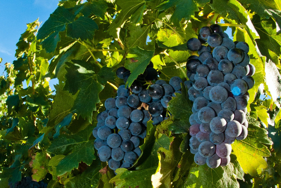 Hood Crest Grapes on the Vine
