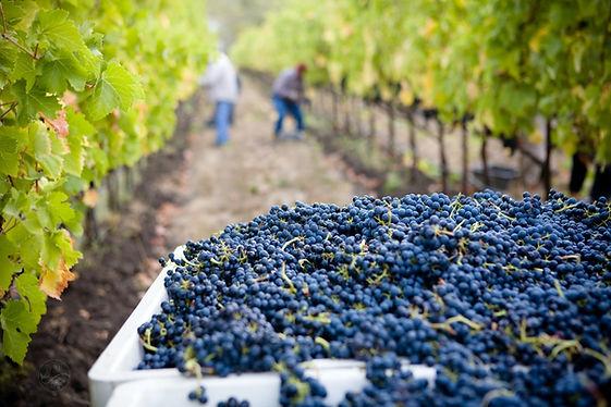 Vineyard 3.jfif