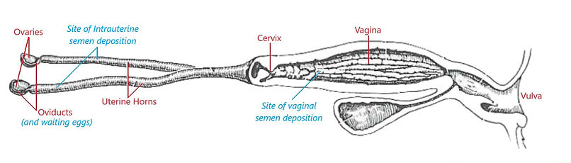 Reproductive anatomy pic Rubbed out anat