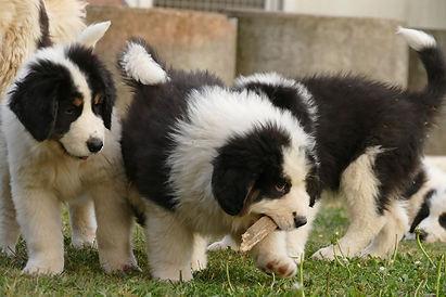 tornjak puppies.jpg