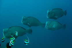 humphead parrotfishes